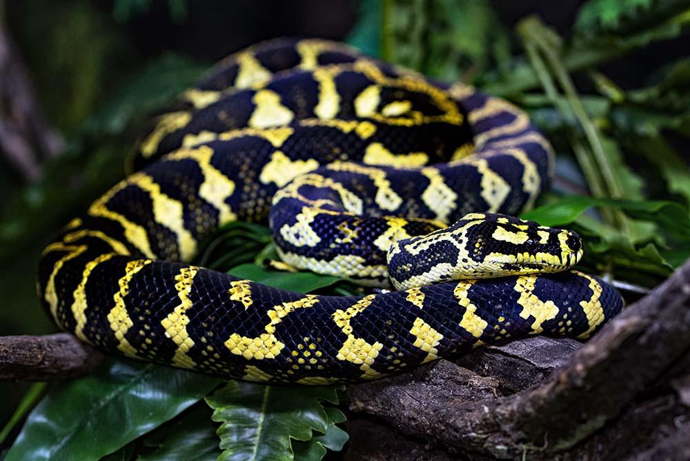 Do Carpet Pythons Make Good Pets?   Blue Dragon Pets