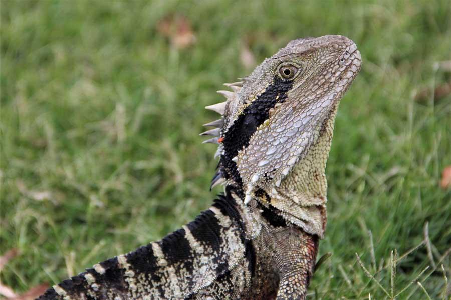 Are Australian Water Dragons Good Pets Blue Dragon Pets