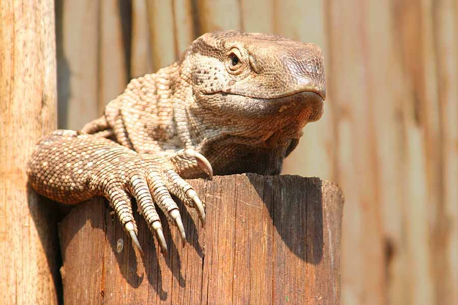 How Long Do Lizards Live In Captivity 25 Examples Blue Dragon Pets