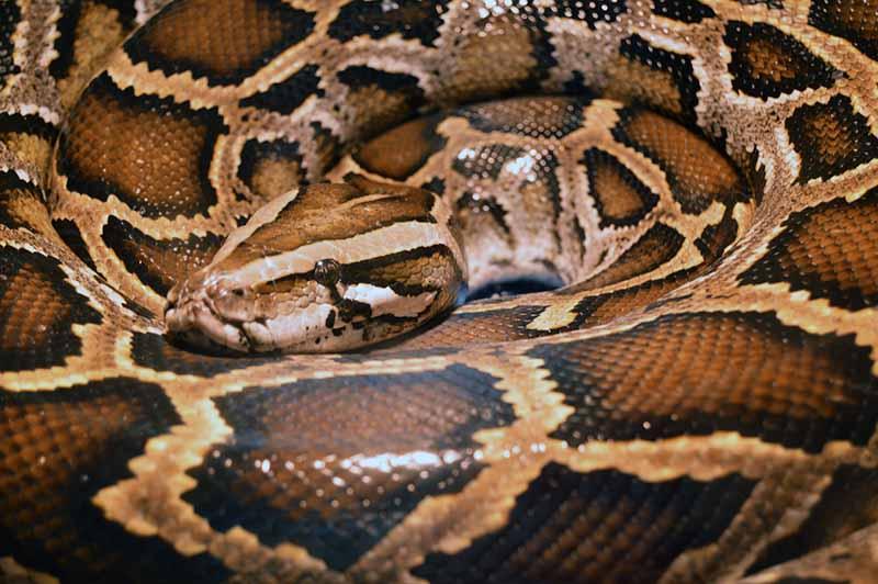 Are Burmese Pythons Good Pets Blue Dragon Pets
