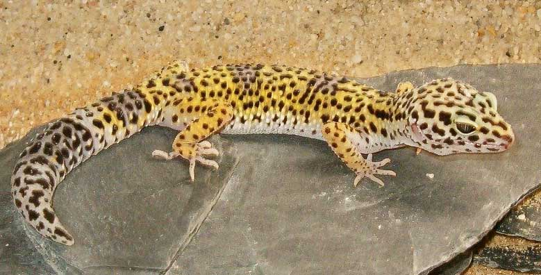 Do Leopard Geckos Make Good Pets With Pics Blue Dragon Pets