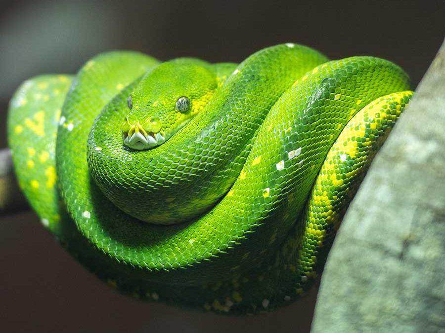 Are Green Tree Pythons Good Pets Blue Dragon Pets