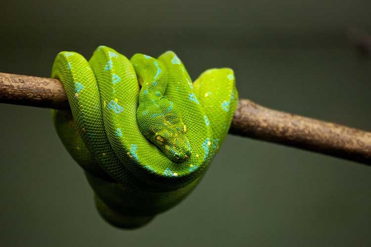 Are Green Tree Pythons Good Pets? | Blue Dragon Pets